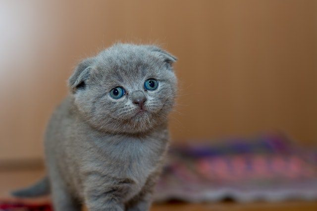 Cute Baby Cat With Lazy Eye